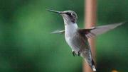 28th Aug 2020 - Female ruby-throated hummingbird