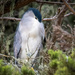 Night Heron trying to nap during the day by nicoleweg