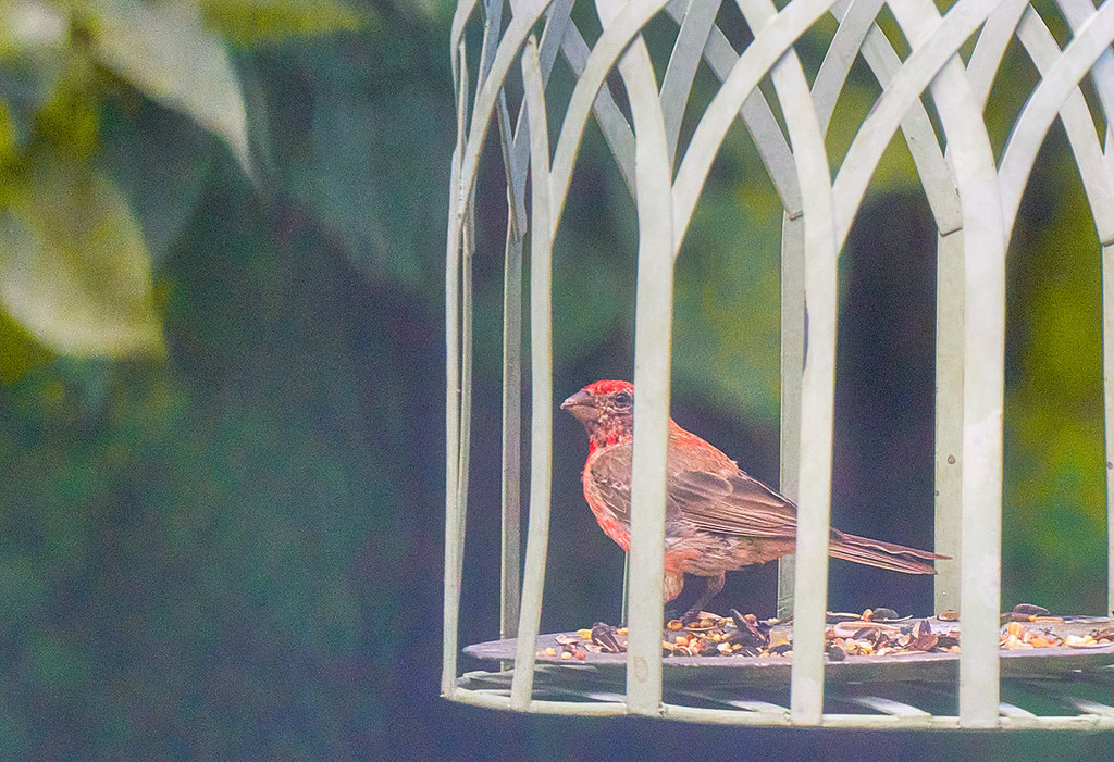 House Finch by gardencat