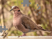 29th Aug 2020 - African mourning Dove