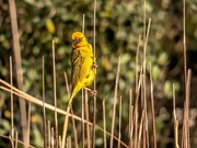 29th Aug 2020 - Nasty looking Weaver