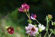 27th Aug 2020 - cosmos & sweet pea