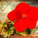 Begonia by pamknowler