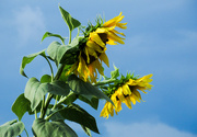 29th Aug 2020 - Sunflowers