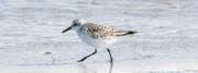 29th Aug 2020 - March of the Sanderling