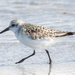 March of the Sanderling by lifeat60degrees
