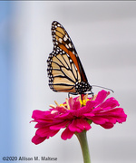 24th Aug 2020 - Monarch and Zinnia