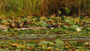 29th Aug 2020 - wood ducks and turtles