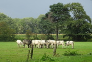 30th Aug 2020 - cattle
