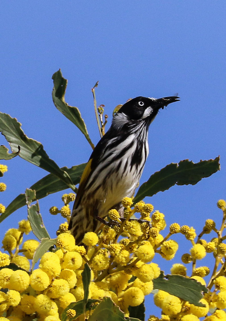 New Holland honey eater by flyrobin