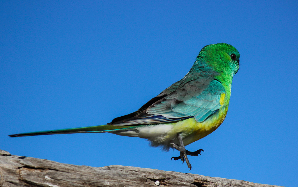 Red rumped parrot by flyrobin