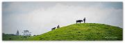 30th Aug 2020 - Calf Walking...