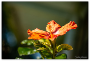 29th Aug 2020 - Last of the Hibiscus...