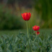 Time for tulips by gosia