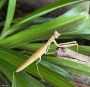 30th Aug 2020 - Praying Mantis