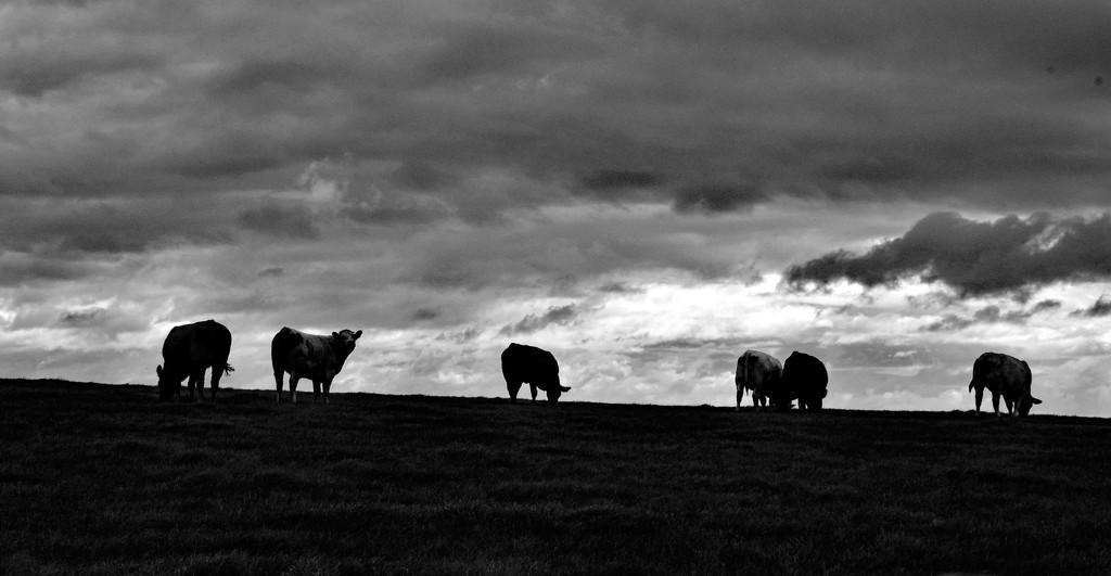 cows by ianmetcalfe