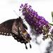 Female Spice Bush Swallowtail Butterfly by berelaxed