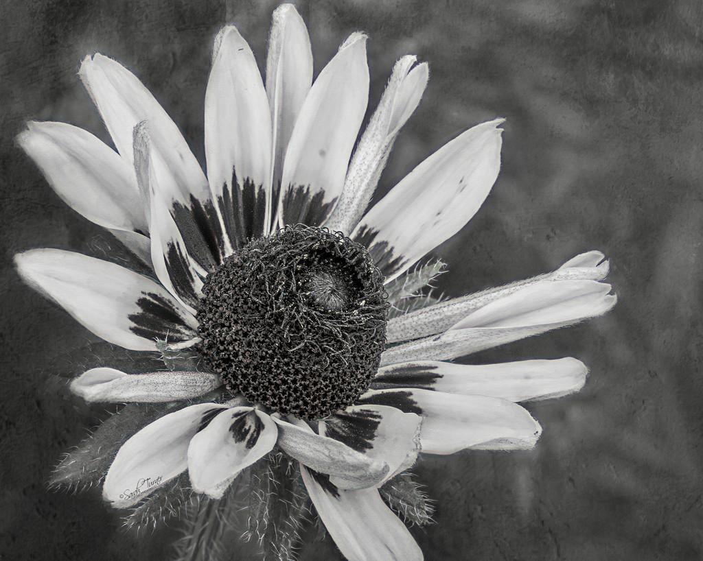 Grey by samae