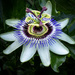 Passion Flower... and Friend! by vignouse