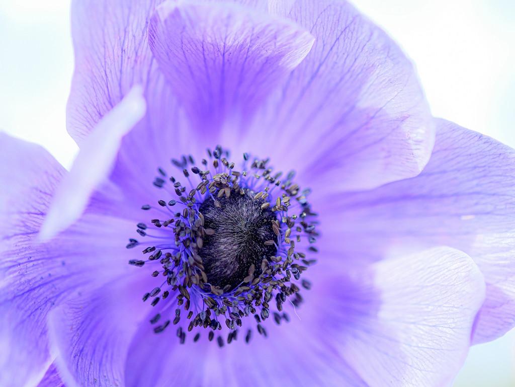 Anemone by maureenpp