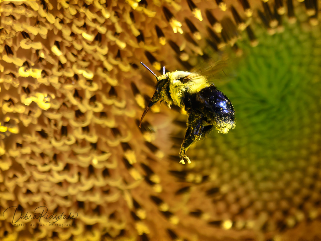 Busy Bee on Sunflower  by dridsdale