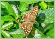 31st Aug 2020 - Speckled-Wood Butterfly