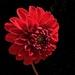 Dahlia by sunnygreenwood