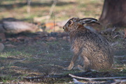 18th Aug 2020 - Wild Hare