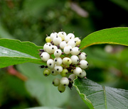 31st Aug 2020 - Red Barked Dogwood Berries