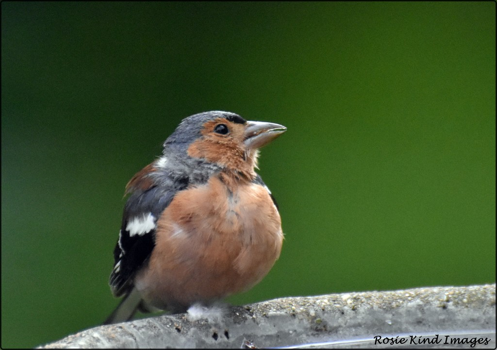 This little chaffinch comes every day for a drink by rosiekind