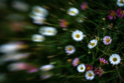 15th Aug 2020 - Lensbaby Daisies