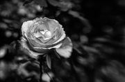 13th Aug 2020 - Lensbaby Rose