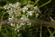 31st Aug 2020 - flat-top white aster