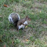 29th Aug 2020 - Capitol Squirrel