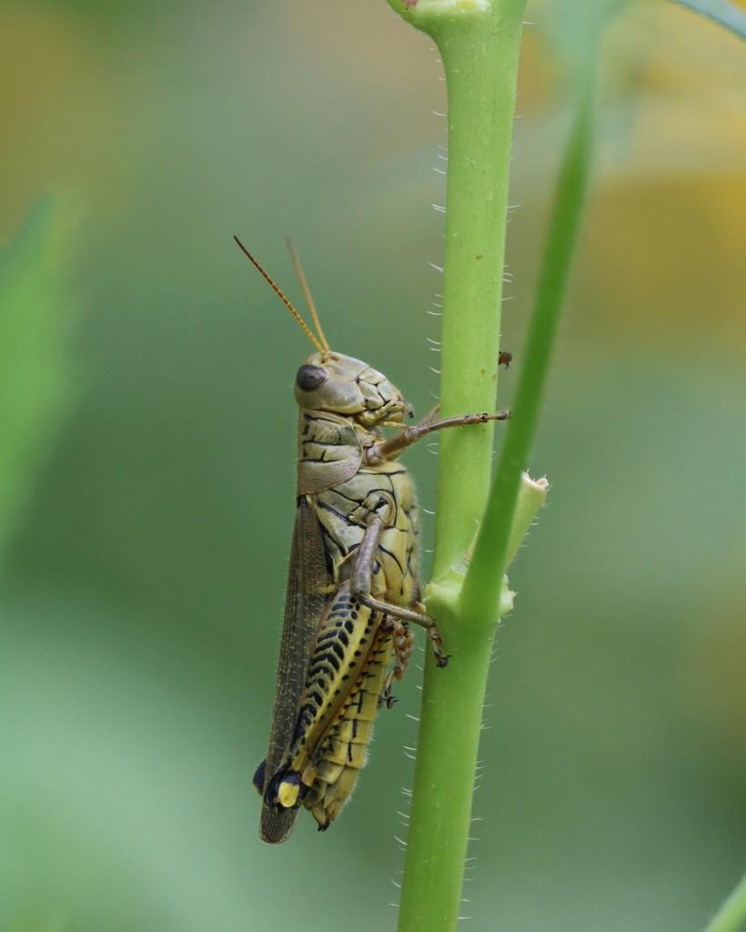 August 31: Grasshopper by daisymiller