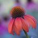 Echinacea  by fayefaye