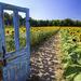 Sunflower Kingdom by pdulis