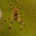 Wet Orb Weaver Spider! by rickster549
