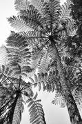 1st Sep 2020 - tree fern