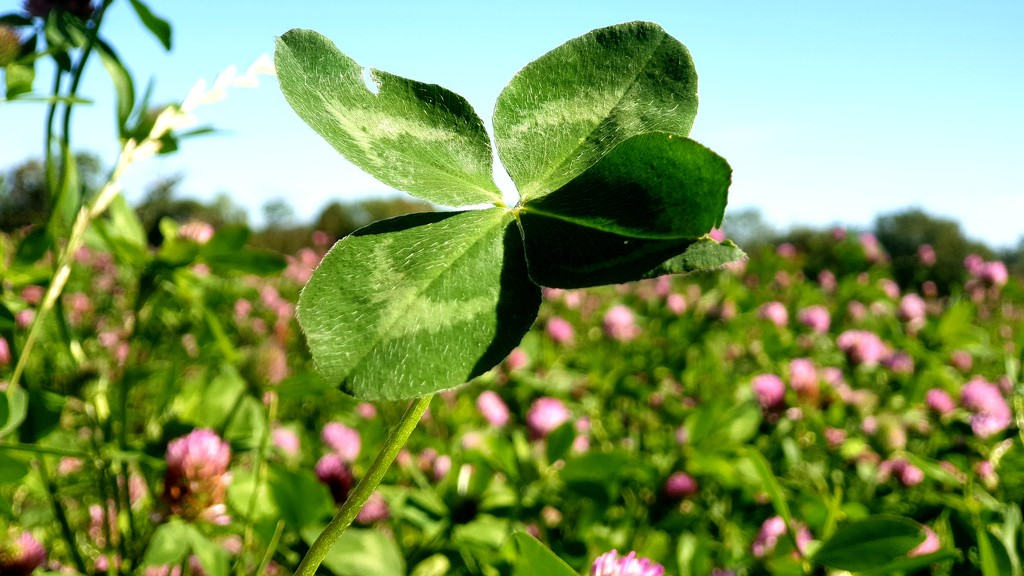 Four-leaved clover by julienne1