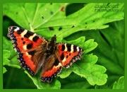1st Sep 2020 - Small Tortoiseshell Butterfly