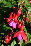31st Aug 2020 - Fuchsia