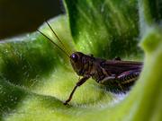 31st Aug 2020 - Grasshopper