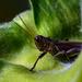 Grasshopper  by dridsdale
