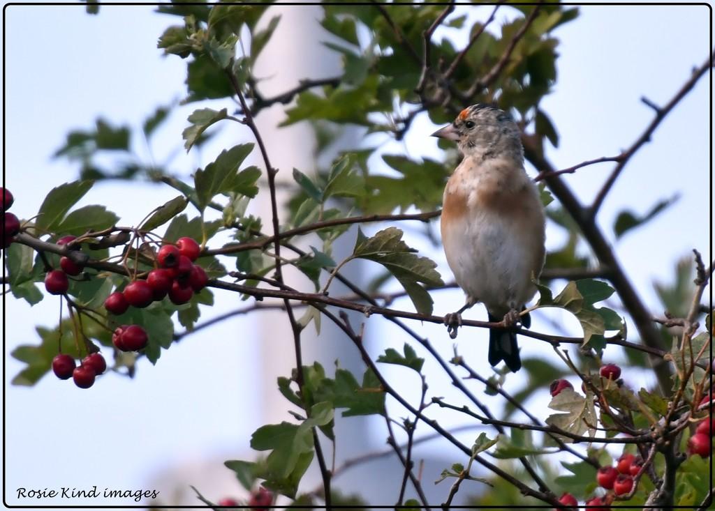 In the berries by rosiekind
