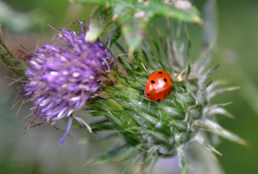 Ladybird by arkensiel