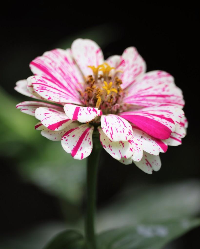 September 1: Zinnia by daisymiller