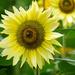 September Sunflower by seattlite