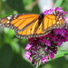 A Monarch at The Beaches by bruni