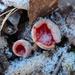 Scarlet elfcup, Sarcoscypha austriaca  (Punamaljakas, Scharlakansskål)